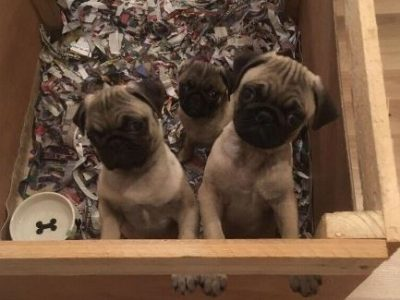 For Sale 3 Pugs
