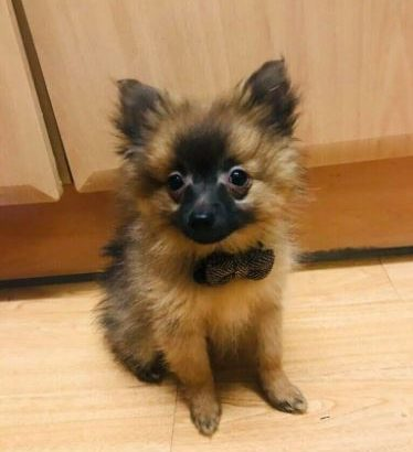 For sale is our Pomeranian puppy