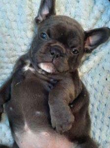 Blue french bulldog Stunning and beautiful puppies