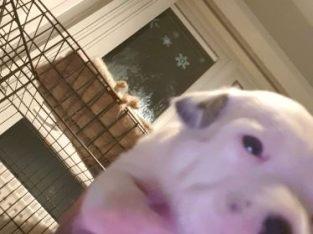 Staff Puppy White Female for sale