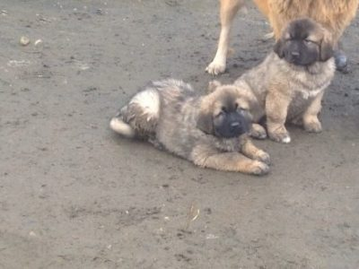 Last 2 stunning Caucasian Shepherd puppies left 1 bitche 1 dog