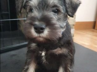 For sale Puppy Male KC Registered Miniature Schnauzer