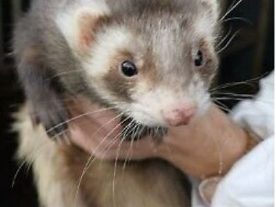 For sale Ferrets