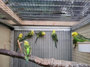 For sale Budgies