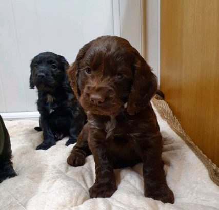 For sale is our Puppies Cocker Spaniel