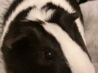 Cage plus 2 male guinea pigs for sale