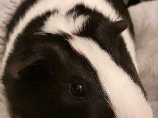 Cage plus 2 male guinea pigs for sale