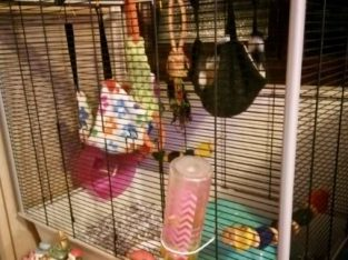 For sale 2 female rats and Large rat cage