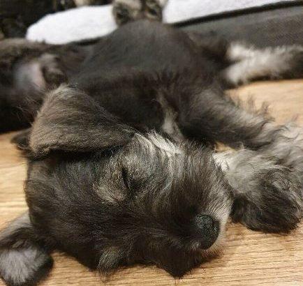 For sale Puppy Male KC Registered Miniature Schnauzer