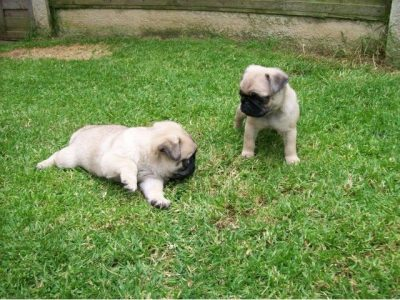 Wonderfully bred litter pug ready now