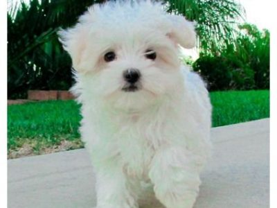 Wonderfully bred litter maltese ready now