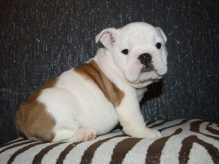 Wonderfully bred english bulldog ready now