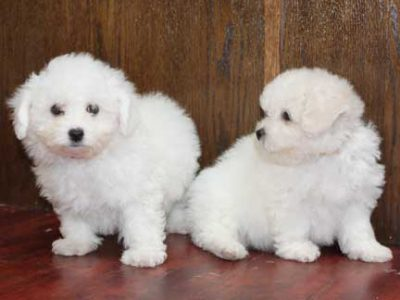 6 Beautiful Male Golden bichon frise ready now