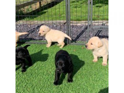 lebrador retriever Puppies +447440524997