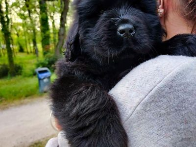 Ready Now Kc Registered Newfoundland Puppies +447440524997