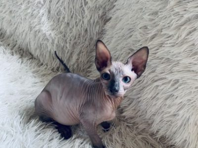 sphynx and bengal kittens for adoption.